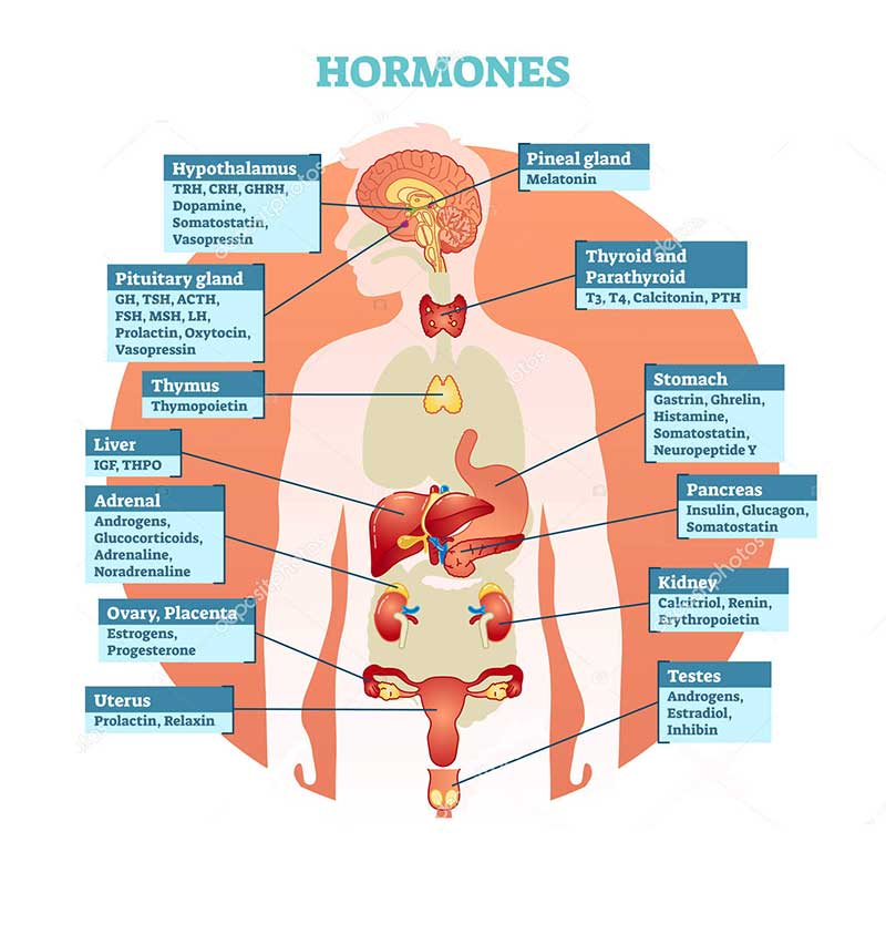role of bioidentical hormones in the body | sarasota HRT